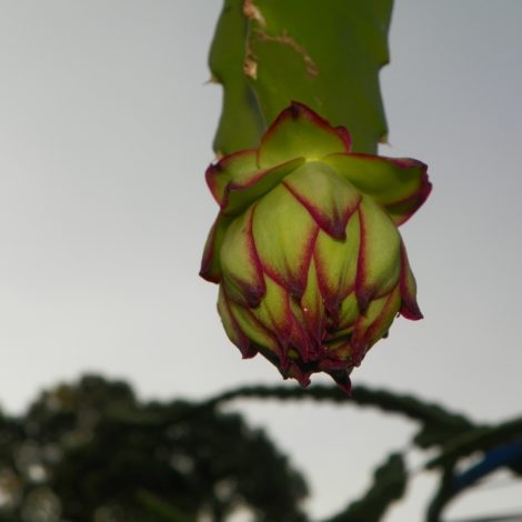 Dragon Fruit variety Lake Atitlan Red flower bud
