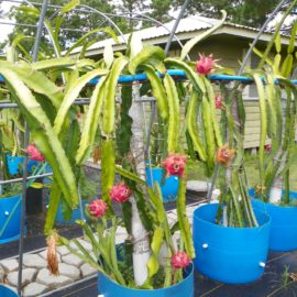 Dragon Fruit variety Lake Atitlan Red plant