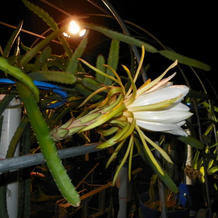 Lisa Dragon Fruit Flower