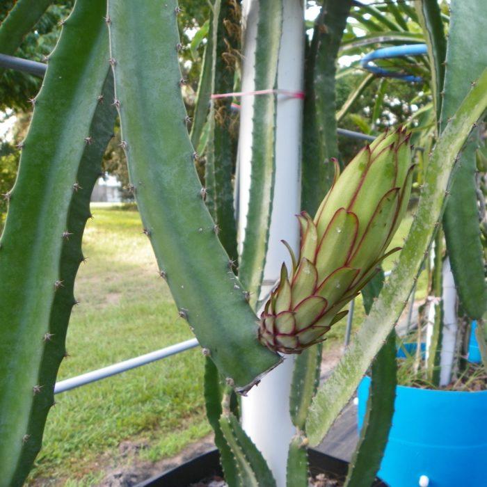 Lisa Dragon Fruit Flower Bud