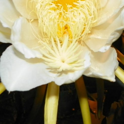 Lisa Dragon Fruit Flower Stigma