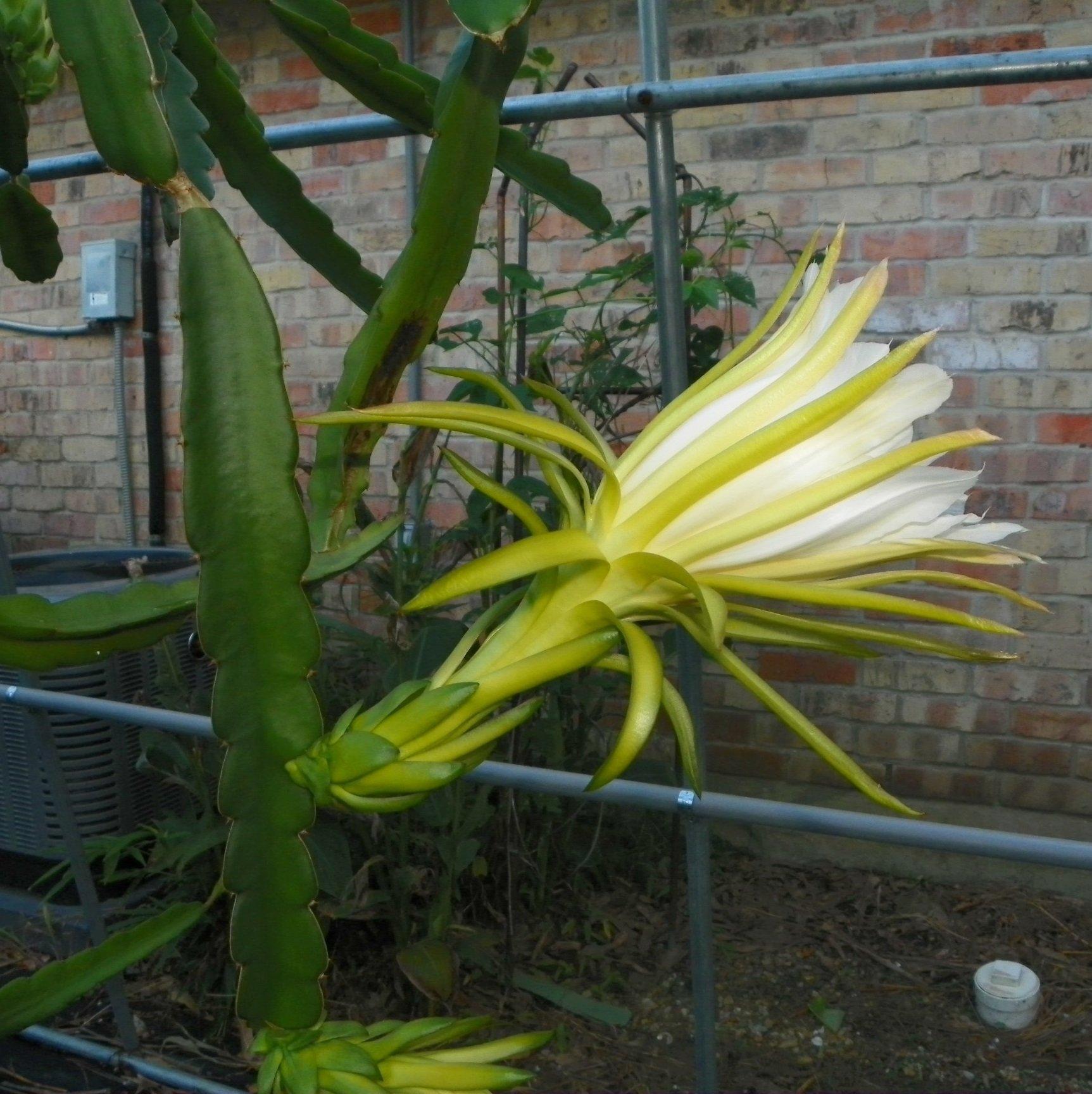 Dragon Fruit variety Maui Dragon flower