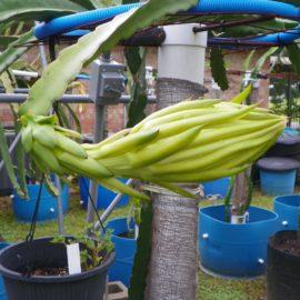 Dragon Fruit variety Maria Rosa flower