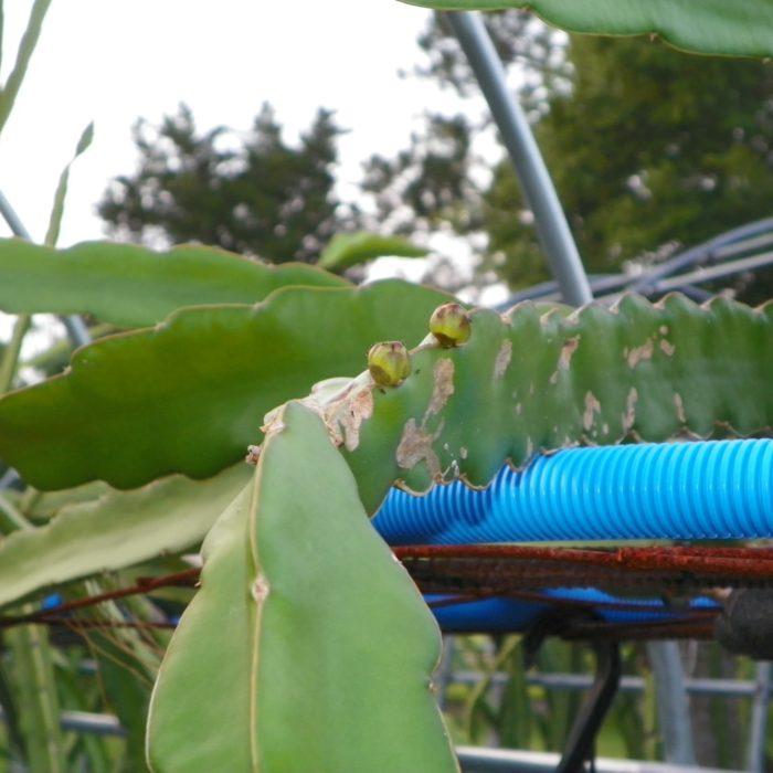 Dragon Fruit variety Maria Rosa flower bud