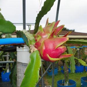 Dragon Fruit variety Maria Rosa fruit