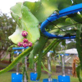 Dragon Fruit variety Makisupa flower bud