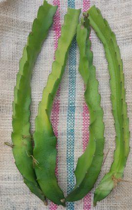 Dragon Fruit variety Makisupa cutting