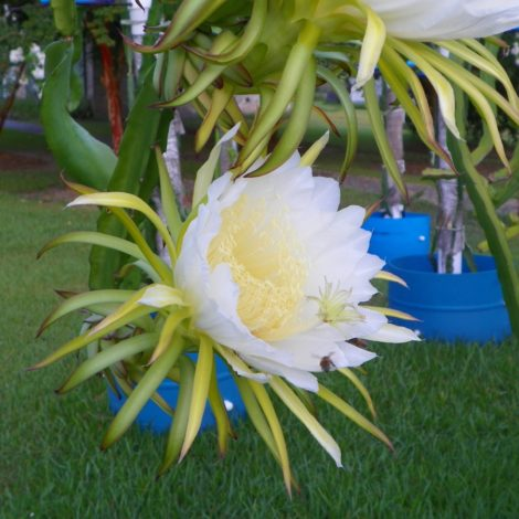 Dragon Fruit variety Makisupa flower