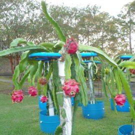 Dragon Fruit variety Makisupa fruit