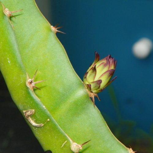 Mr. Woo Dragon Fruit Flower bud