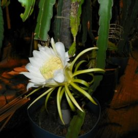Dragon Fruit variety Mexicana flower