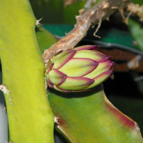 Dragon Fruit variety Natural Mystic flower bud