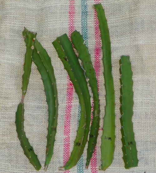 Dragon Fruit variety Natural Mystic cuttings