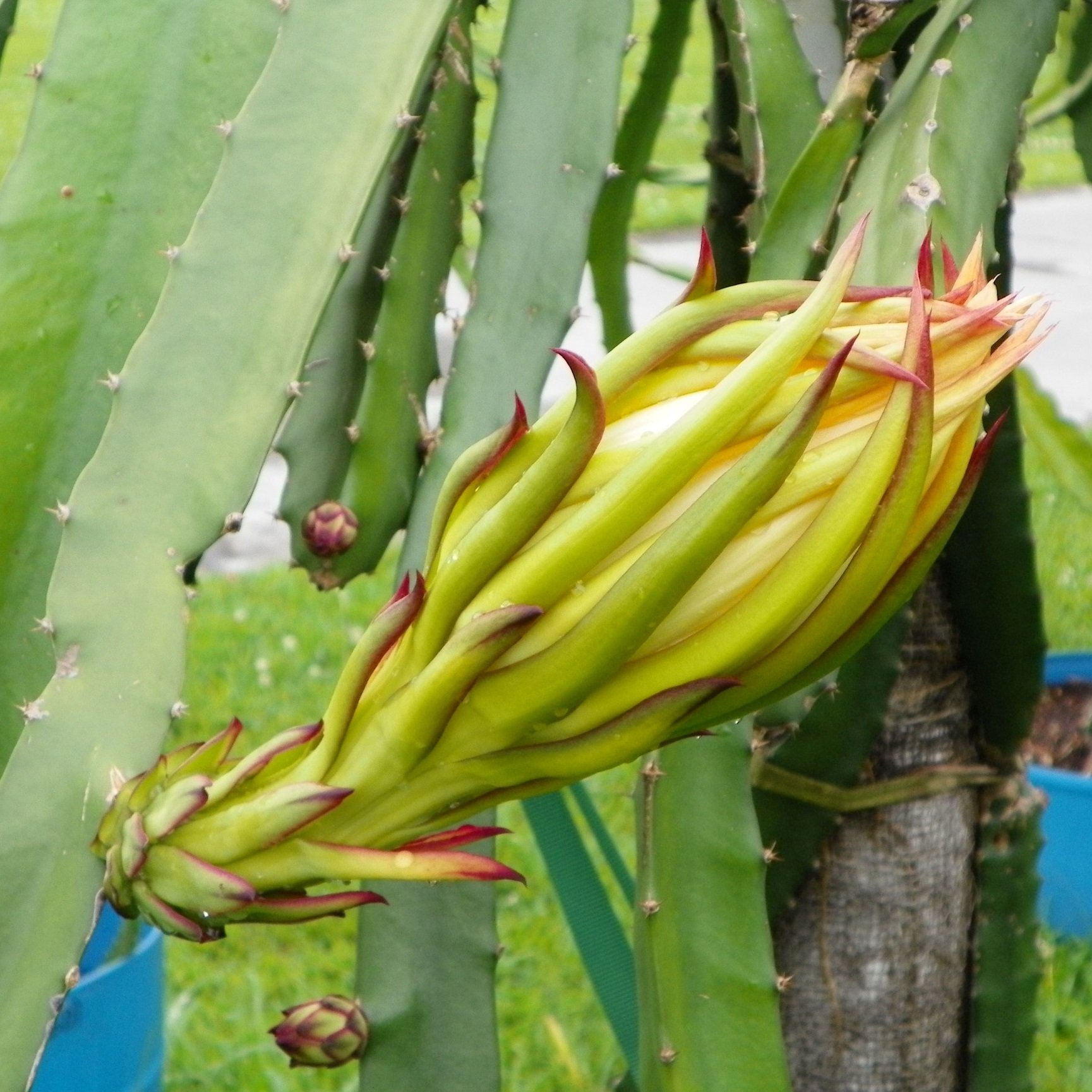 Dragon Fruit variety Natural Mystic flower bud