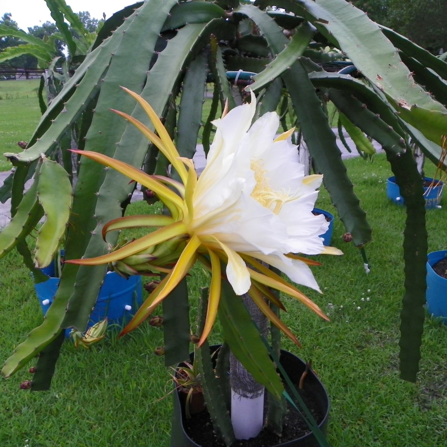 Dragon Fruit variety Natural Mystic flower