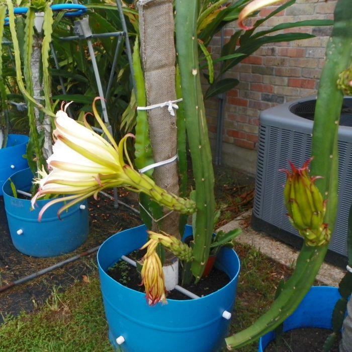 Dragon Fruit variety Neon flower