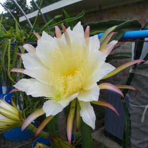 Dragon Fruit variety Neon flower