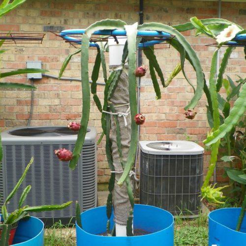 Dragon Fruit variety Neon plant