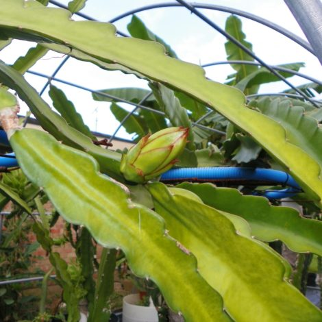 Dragon Fruit variety Nicaraguan Red flower bud