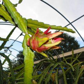 Dragon Fruit variety Nicaraguan Red fruit on the vine