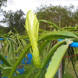 Dragon Fruit variety Niezel flower bud