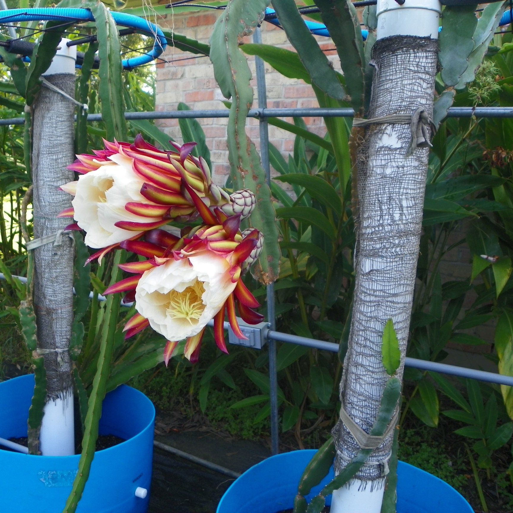 Dragon Fruit variety Hylocereus Ocamponis Flower