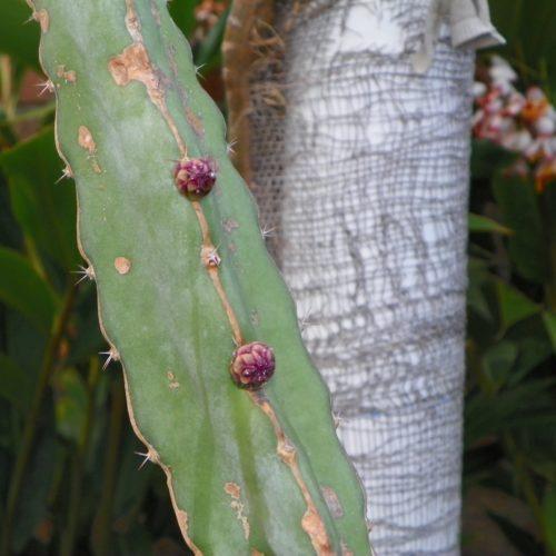 Dragon Fruit variety Hylocereus Ocamponis flower bud