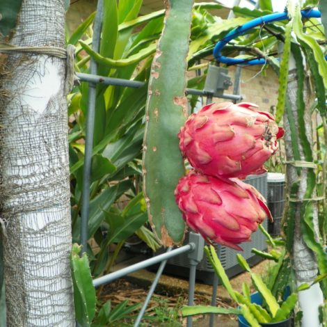 Dragon Fruit variety Hylocereus Ocamponis fruit