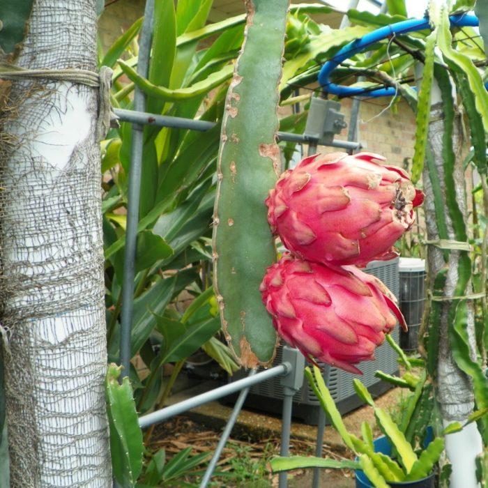 Dragon Fruit variety Hylocereus Ocamponis fruit
