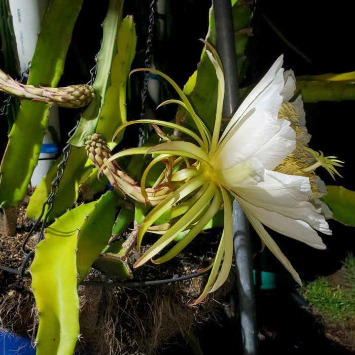 Ohana Express Dragon Fruit Flower