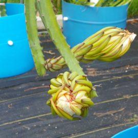 Dragon Fruit variety Orejona flower bud