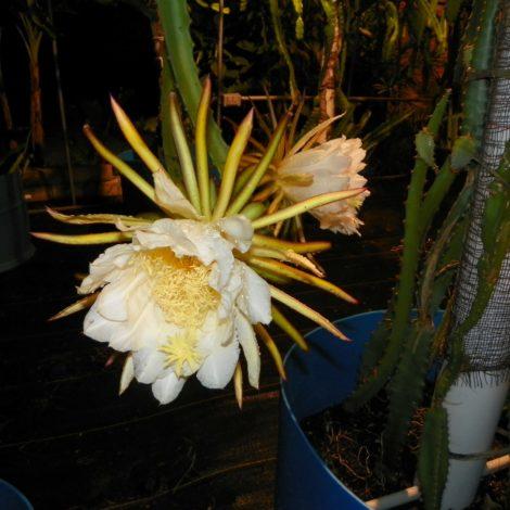 Dragon Fruit variety Orejona flower