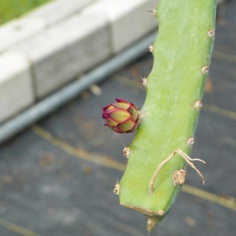 Dragon Fruit variety Orejona bud