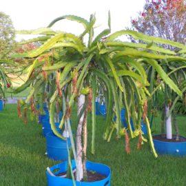 Dragon Fruit variety Purple Haze plant