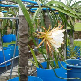 Dragon Fruit variety Hylocereus Polyrhizus flower