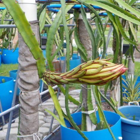 Dragon Fruit variety Hylocereus Polyrhizus flower