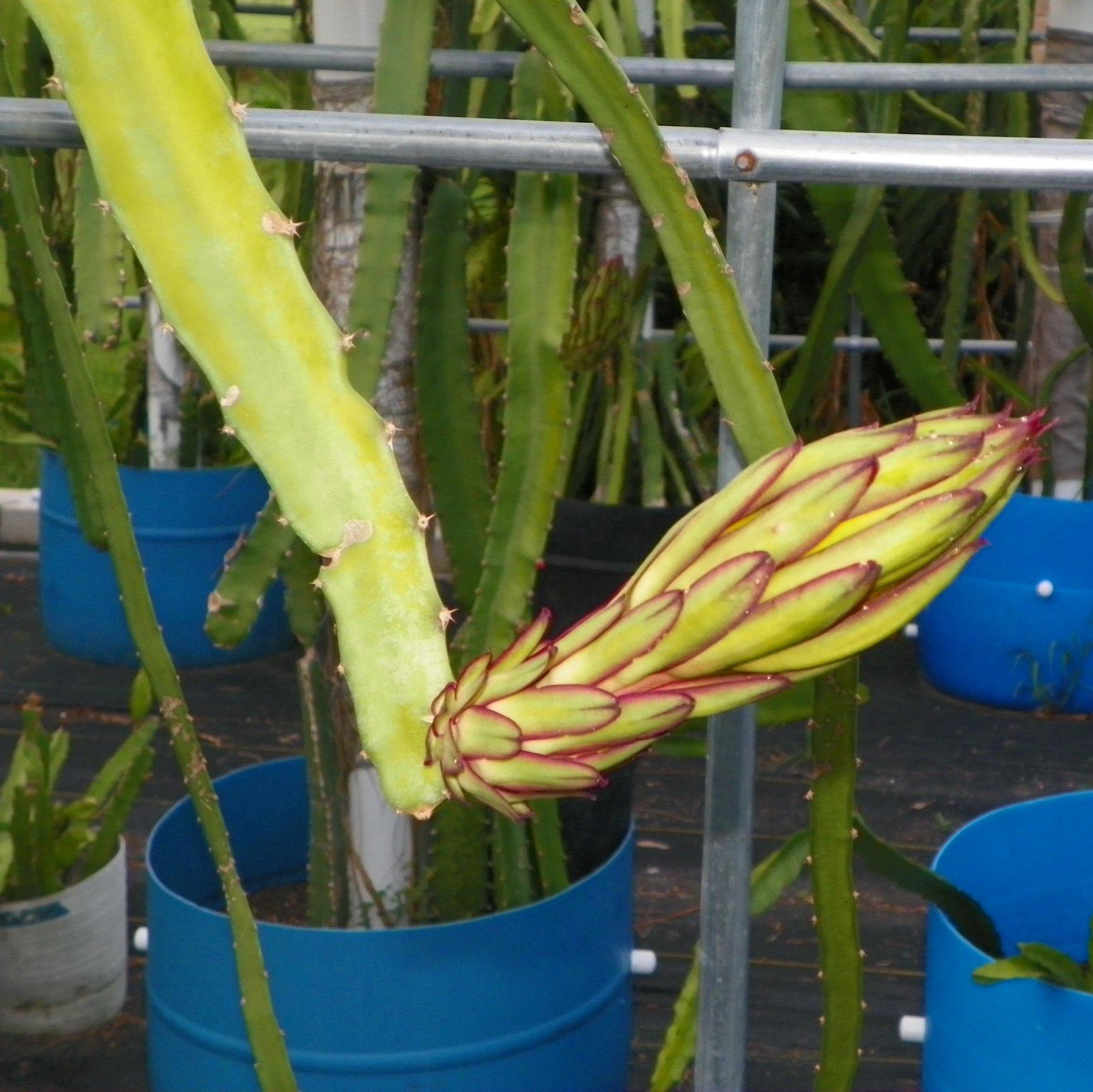 Dragon Fruit variety Hylocereus Polyrhizus flower bud
