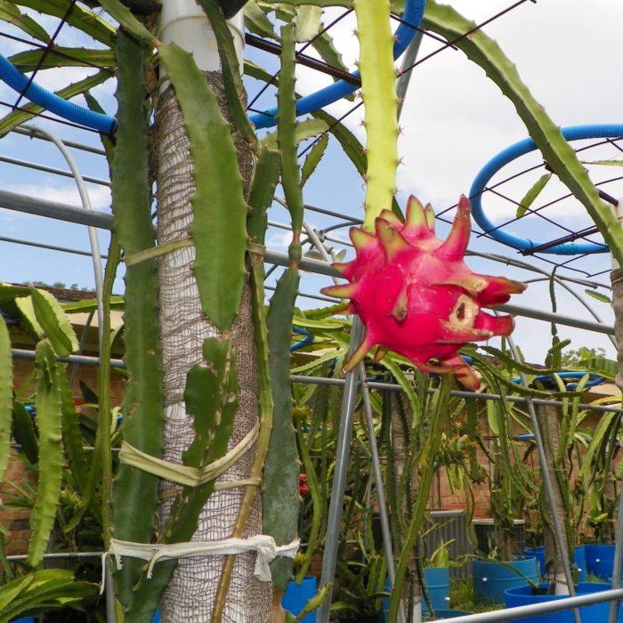 Dragon Fruit variety Hylocereus Polyrhizus fruit on plant