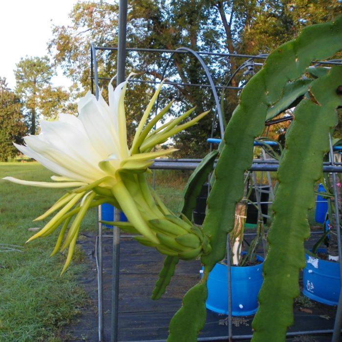 Hylocereus peruviaus Dragon Fruit Flower
