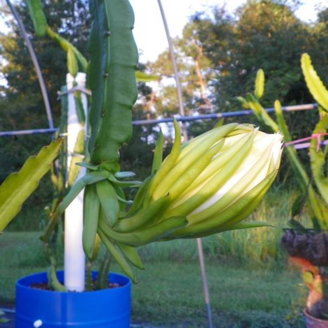 Hylocereus peruviaus Dragon Fruit Flower Bud