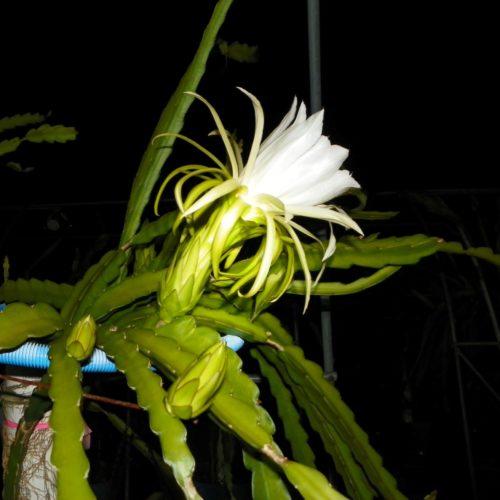 Paisley Dragon Fruit Flower