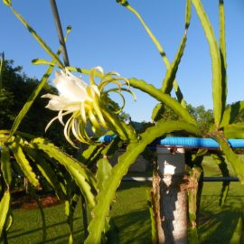 Dragon Fruit variety Rixford flower