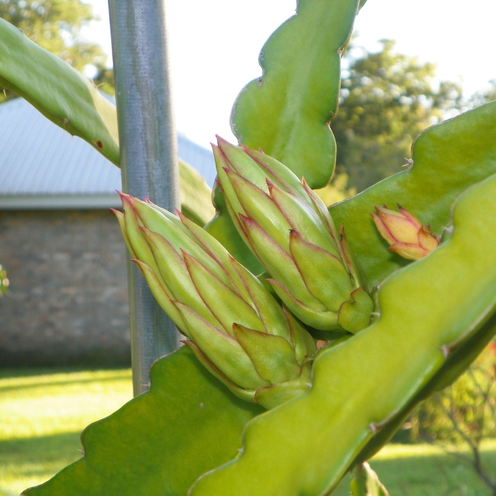Dragon Fruit variety Rixford flower buds