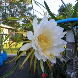 Dragon Fruit variety Red Jiana flower