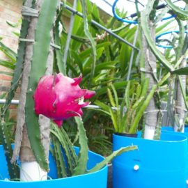 Dragon Fruit variety Red Jiana fruit