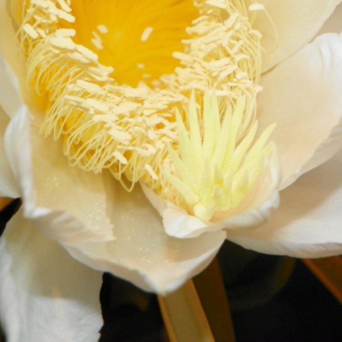 Dragon Fruit variety Rosa flower stigma