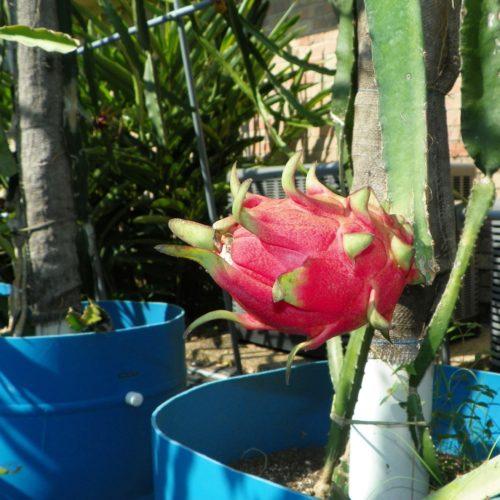 Dragon Fruit variety Rosa fruit on the vine