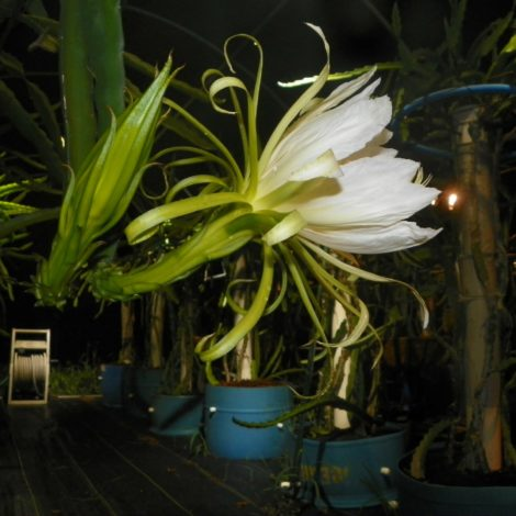 Hylocereus setaceus Dragon Fruit Flower