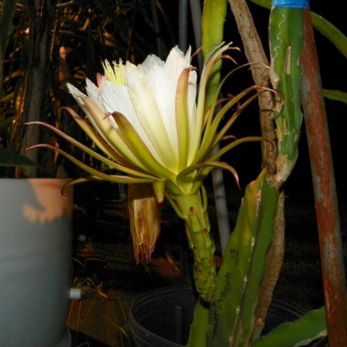 Sugar Dragon Dragon Fruit Flower