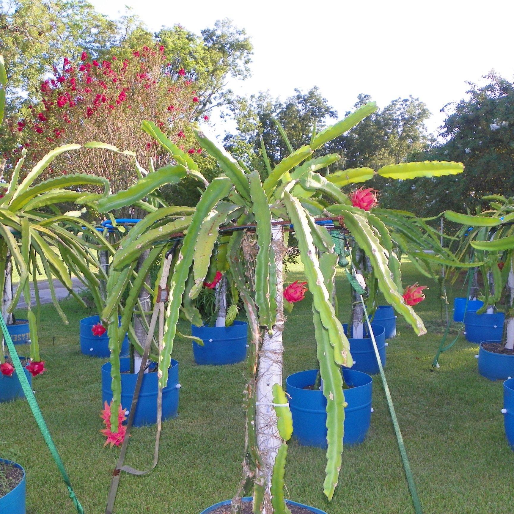 Dragon Fruit variety Thai Dragon plant